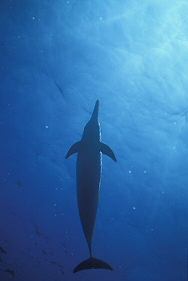 spinner dolphin from below